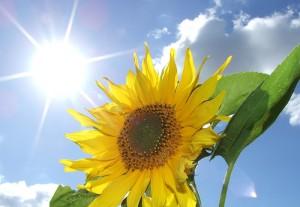 apts phoenix: sun flower