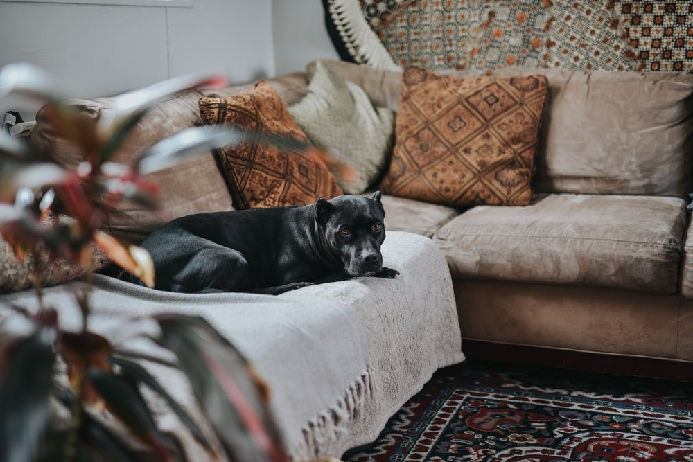 black dog lying on fabric sectional sofa